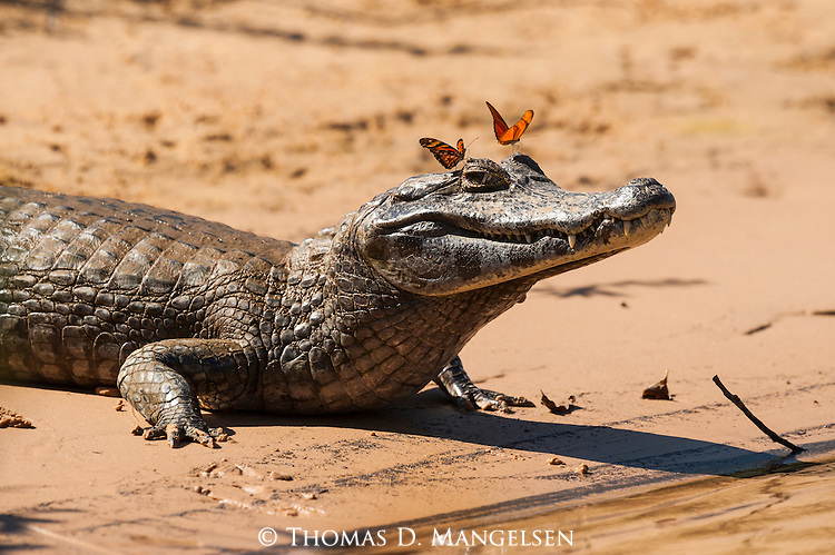 A yacare caiman lays on a river bank in the Pantanal as butterflies drink its tears in Mato Grosso, Brazil.