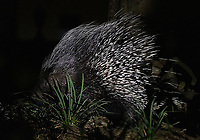 We saw a number of new smaller mammal species on this trip. It was a thrill finally seeing my first African crested porcupines (which were quite shy).