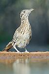 Texas, Rio Grande Valley,  Roadrunner (Geococcyx californianus)