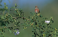 Common Linnet, Carduelis cannabina, male singing on Dog Rose (Rosa canina) , Fretterans, France, Europe