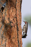 Northern Flicker or Red-shafted Flicker (Colaptes auratus) feeding on sap (and/or insects attracted by sap) on side of ponderosa pine.  Western U.S., fall.  Pygmy nuthatches were also attracted to this tree.