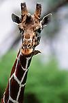 Reticulated giraffe, and oxpeckers, Samburu National Reserve, Kenya