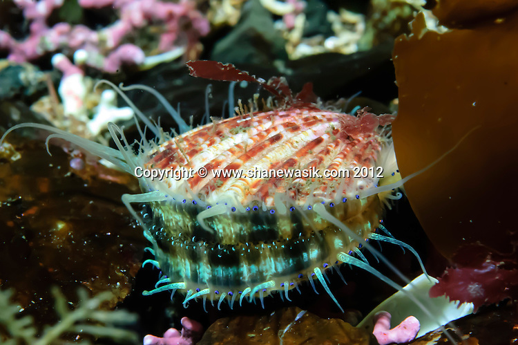 Juvenile Scallop on a Maerl Bed