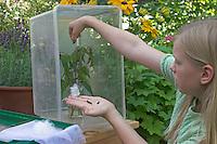 Kinder züchten Schmetterlings-Raupen, Terrarium wird mit einem Strauß frischer Brennnesseln als Raupenfutterpflanze bestückt, Raupen vom Admiral und Tagpfauenauge werden eingesetzt, Vanessa atalanta, red admiral, Inachis io, Nymphalis io, peacock moth