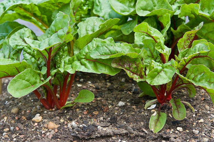 Swiss Chard 'Bright Lights', mid June. Seeds sown about 7 weeks ago.