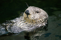 southern sea otter, or California sea otter, Enhydra lutris nereis, adult, endangered species, a subspecies of sea otter, Enhydra lutris, California, USA, Pacific Ocean