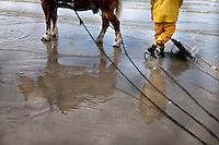 Il pescatore di gamberetti Xavier Vanbillemont e il suo cavallo in mare durante la battuta di pesca ai gamberetti  The fisherman and his horse shrimp fishing at sea