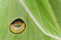 Luna Moth (Actias luna), close up of eyespots on back wings, New Braunfels, Texas, USA