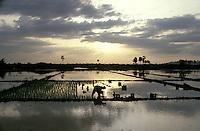 Rice farmer in paddy field.