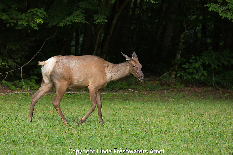 Elk in the Great Smoky Mountains National Park