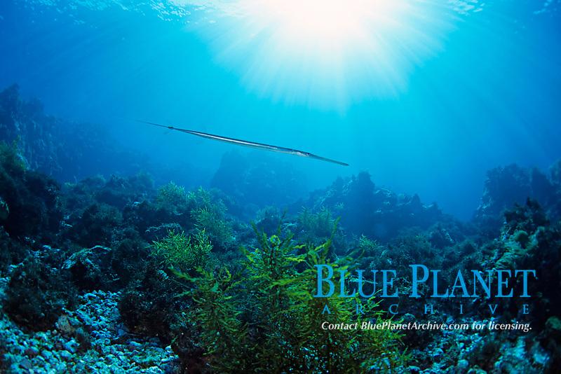 Cornet fish, Flute mouth, Fistularia commersonii, Futo, Sagami bay, Izu peninsula, Shizuoka, Japan, Pacific Ocean