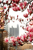 Flowers bloom on the Duquesne University campus on Friday March 27, 2020 in Pittsburgh, Pennsylvania. (Photo by Jared Wickerham/Pittsburgh City Paper)