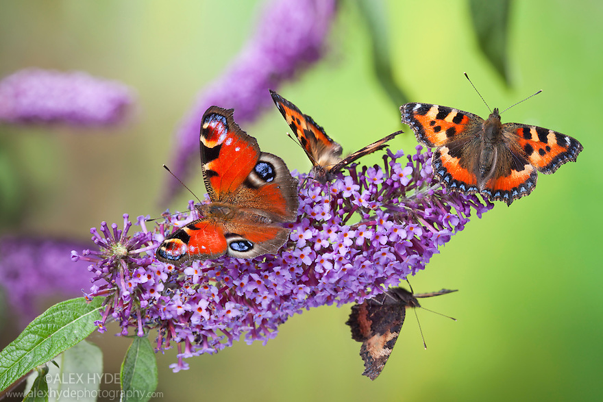 Peacock butterfly {Inachis io} and Small Tortoiseshell butterflies {Aglais urticae} feeding on buddleia flowers {Buddleia davidii}, Peak District Natioal Park, Derbyshire, UK. September