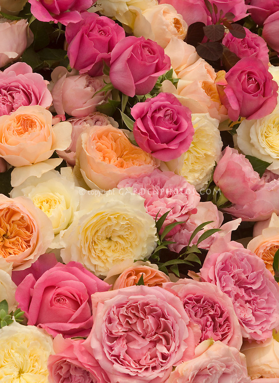 Many kinds & colors of roses: English roses, hybrid tea roses, David Austin Roses, pinks, cream, rose, apricot, orange, coral filling entire frame