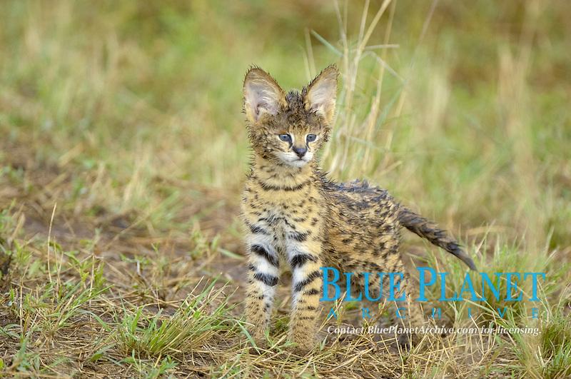 Serval (Felis serval), cub, wet fur, standing alert, Masai Mara, Kenya, Africa