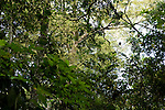 Black Colobus (Colobus satanas) in tropical rainforest canopy, Lope National Park, Gabon