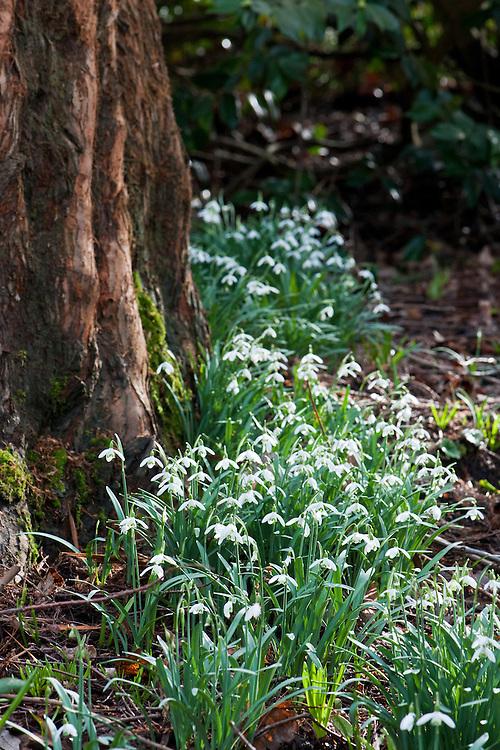 Pleated snowdrop (Galanthus plicatus), late February.