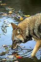 MA27-021z   Eastern Coyote - Canis latrans