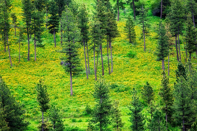 Yellow Balsomroot on forest floor with Ponderosa Pine forest. Near Flora, Oregon