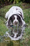 28/07/2013 Dog enjoys Rochdale cricket rain