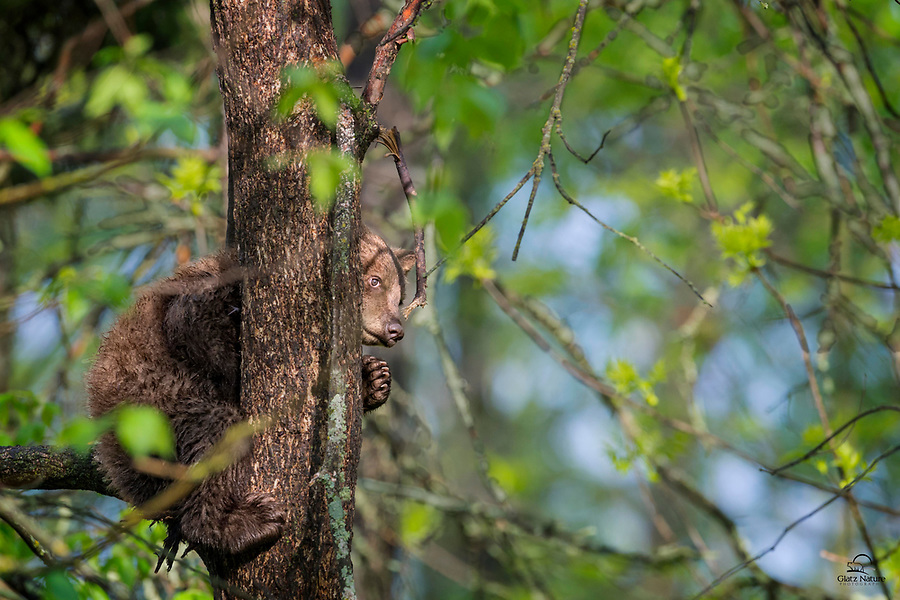 Black Bear (Ursus americanus) cub, soggy from a wet morning, peeks out at the photographers from his safe place high up in a tree. He almost seems to be giving us a cautious wave.  Vince Shute Wildlife Sanctuary, Orr, Minnesota.