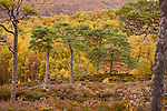Scots Pine (Pinus sylvestris) and Downy Birch (Betula pubescens). Caledonian pine forest, Glen Affric, Scottish Highlands. Scotland. October.