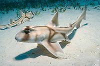 Two Juvenile Port Jackson sharks in nursury, Heterodontus portus-jacksoni, Albany, Western Australia, Southern Ocean