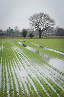 Waterlogged wheat in January