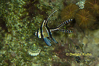 TP16-504z Banggai Cardinal Fish, Pterapogon kaudemi