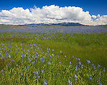 Camas County, Idaho<br /> Centennial Marsh Camas Prairie, Camas (Camassia quamash) expanse blooming under the distant Soldier mountain with  cumulus clouds