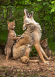 Mum howls with delight as her coyote cub hits the spot as he scratches her back by Jim Zuckerman