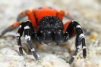 Röhrenspinne, Männchen, Eresus moravicus, ladybird spider, male, Röhrenspinnen, Eresidae, ladybird spiders