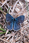 karner blue butterfly male sitting on grass, concord, new hampshire, vertical
