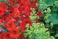 Nasturtiums Tropaeolum majus Empress of India with Alchemilla mollis
