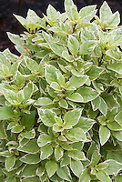 Basil Ocimum x citriodorum Pesto Perpetuo showing its variegated herb foliage with white edge