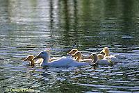 DG20-036z  Pekin Duck - ducklings swimming with mother
