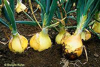 HS16-039x  Onion - sweet mild onions - Alisa Craig variety