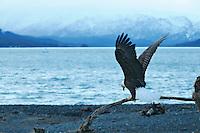 Bald eagle on Homer spit, Alaska