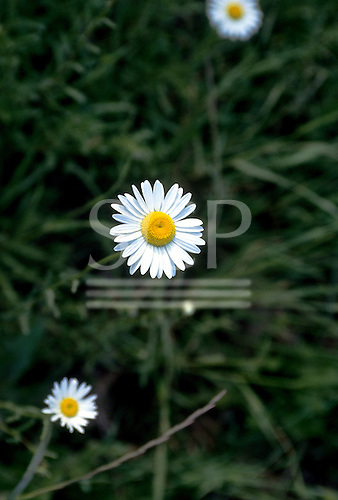 Chile. Perfect daisy.