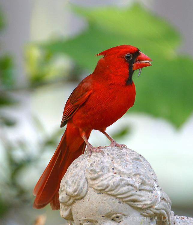 Adult male northern cardinal on head of bird bath figurine