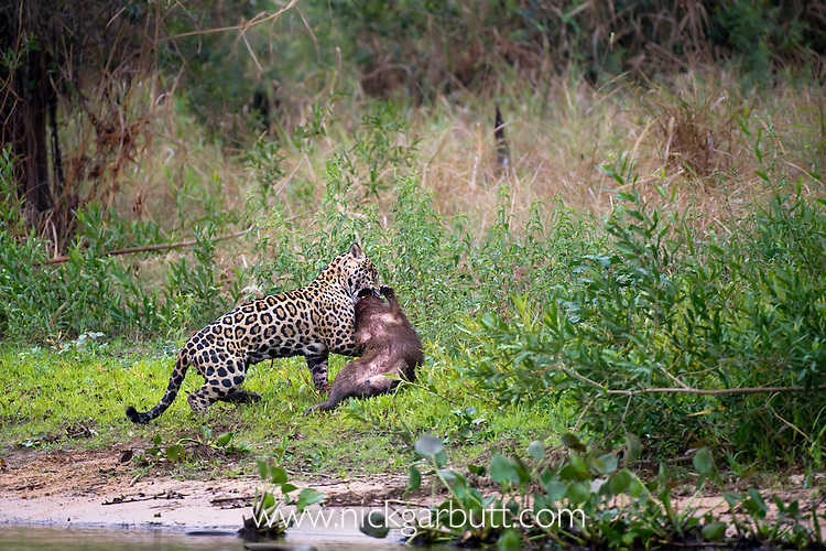 Wild male Jaguar (Panthera onca palustris) predating a Capybara (Hydrochaeris hydrochaeris) at the edge of a tributary of Cuiaba River, Northern Pantanal, Brazil.