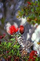 Native apapane (himatione sanguinea) in ohia lehua tree in Hakalau forest national wildlife refuge