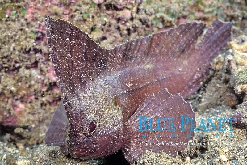cockatoo waspfish, Ablabys taenianotus, PNG