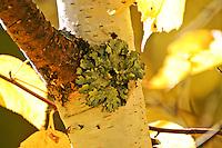 Symbiotic relationship of green lichen on white bark aspen in the Flathead National Park Montana