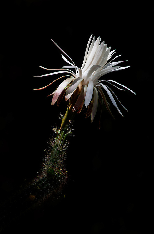 A regal echinopsis cactus blooms in the Tohono Chul Park in Tucson, Arizona, USA