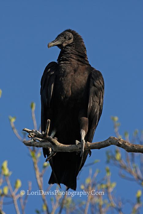 Black Vulture Perched & Blue Sky #B92