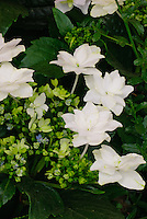 Hydrangea Fireworks White ('Hanabi') in bloom