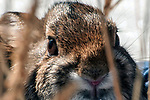 New England cottontail rabbit close-up of face in natural habitat in the Great Bay National Wildlife Refuge in New Hampshire.