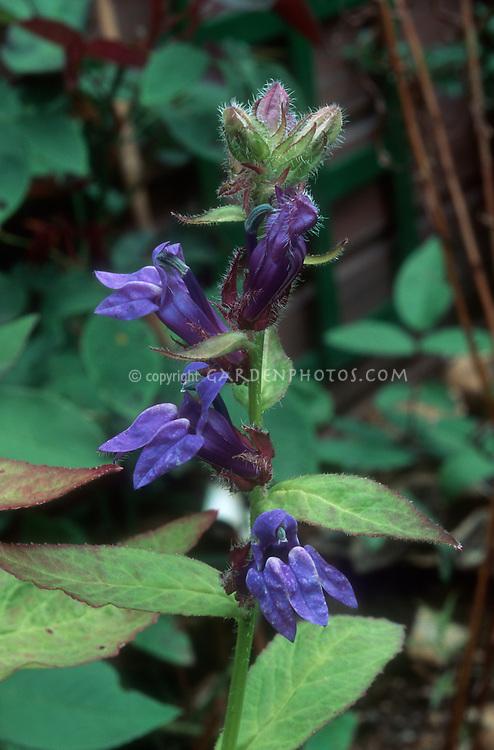 Lobelia siphilitica, Great Blue Lobelia, blue flowered