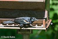 0207-1101  Red-winged Black Bird at Bird Feeder, Agelaius phoeniceus  © David Kuhn/Dwight Kuhn Photography